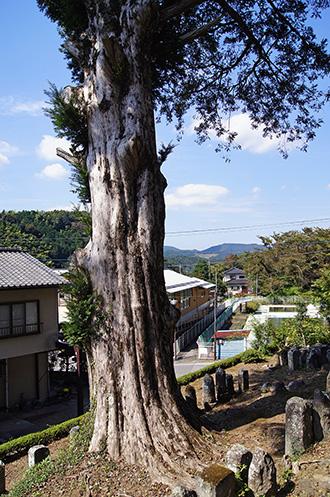 151006弘道寺のカヤ③