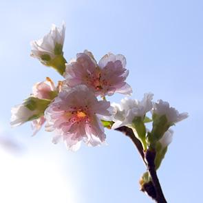 151024新御子福桜