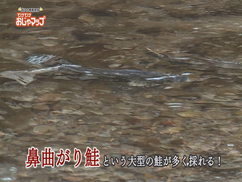 鼻曲がり鮭という大きい鮭!