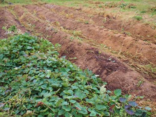 500芋掘り体験1511102