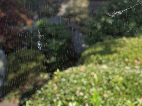 500蜘蛛の巣151117