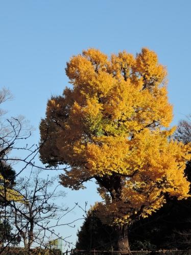 500銀杏の木151211