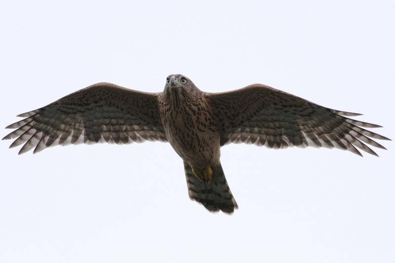向かってきたオオタカ幼鳥1