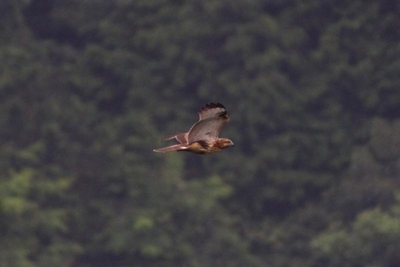 谷底を飛ぶノスリの若