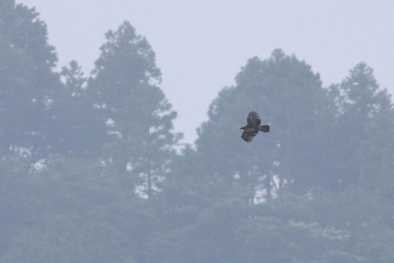 ダムの真上を飛ぶハチクマ