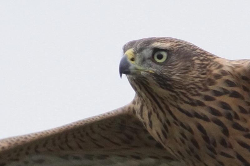 オオタカ幼鳥飛翔160727 等倍