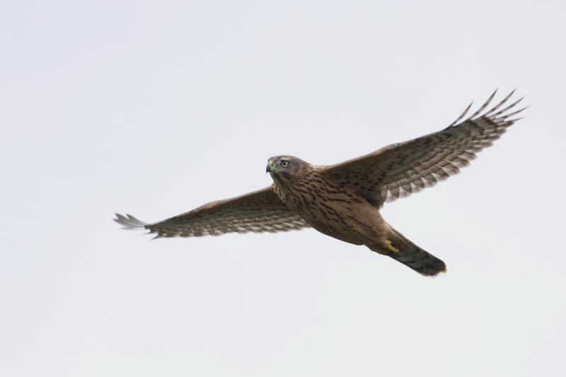 オオタカ幼鳥飛翔160727