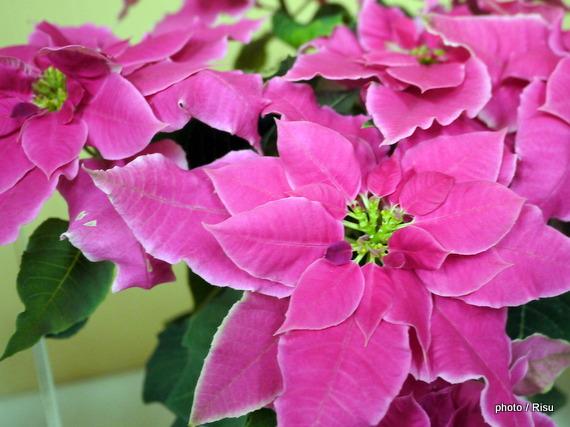 鉢植え「バラ咲きプリンセチア~プリンセチアローザ~」