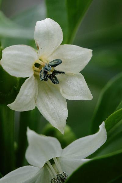 花き研究指導室 トウガラシ 151011 04