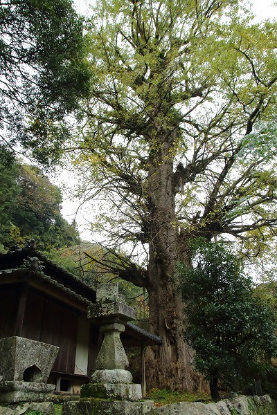 松瀬川川筋銀杏 151114 01