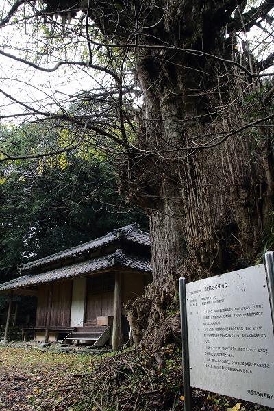 松瀬川川筋銀杏 151114 04