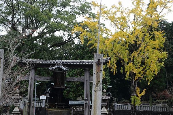 築島神社銀杏 151114 01