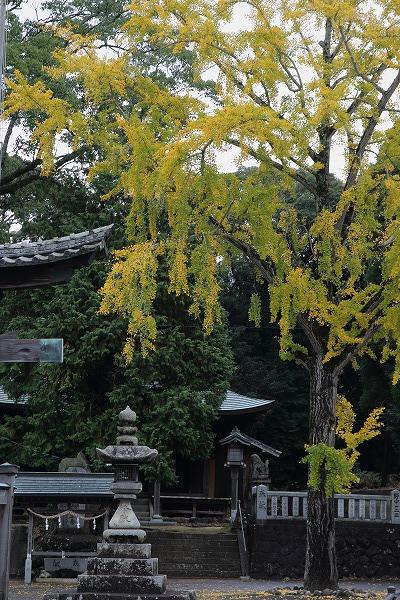 築島神社銀杏 151114 02