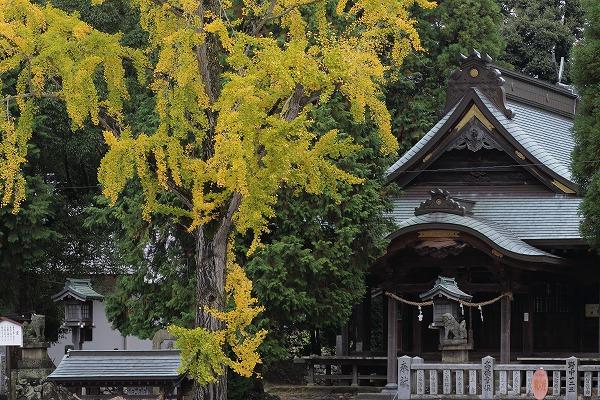 築島神社銀杏 151114 05