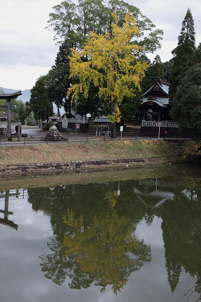 築島神社銀杏 151114 06