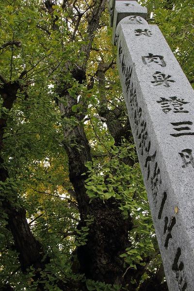 道音寺銀杏 151114 01