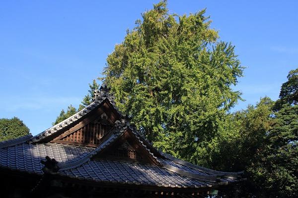田野上方綾延神社銀杏紅葉 151120 06