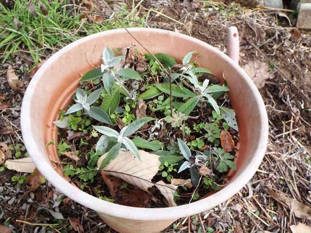 挿し芽のブッドレア202151129