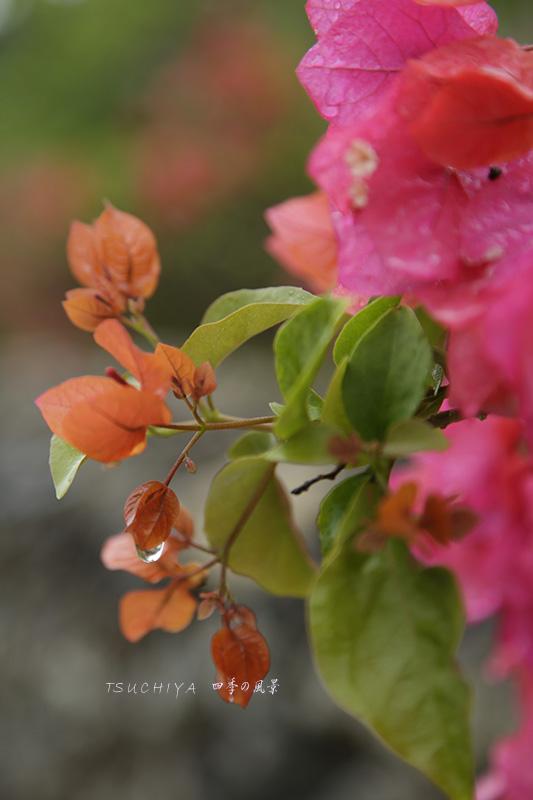 石垣島の花