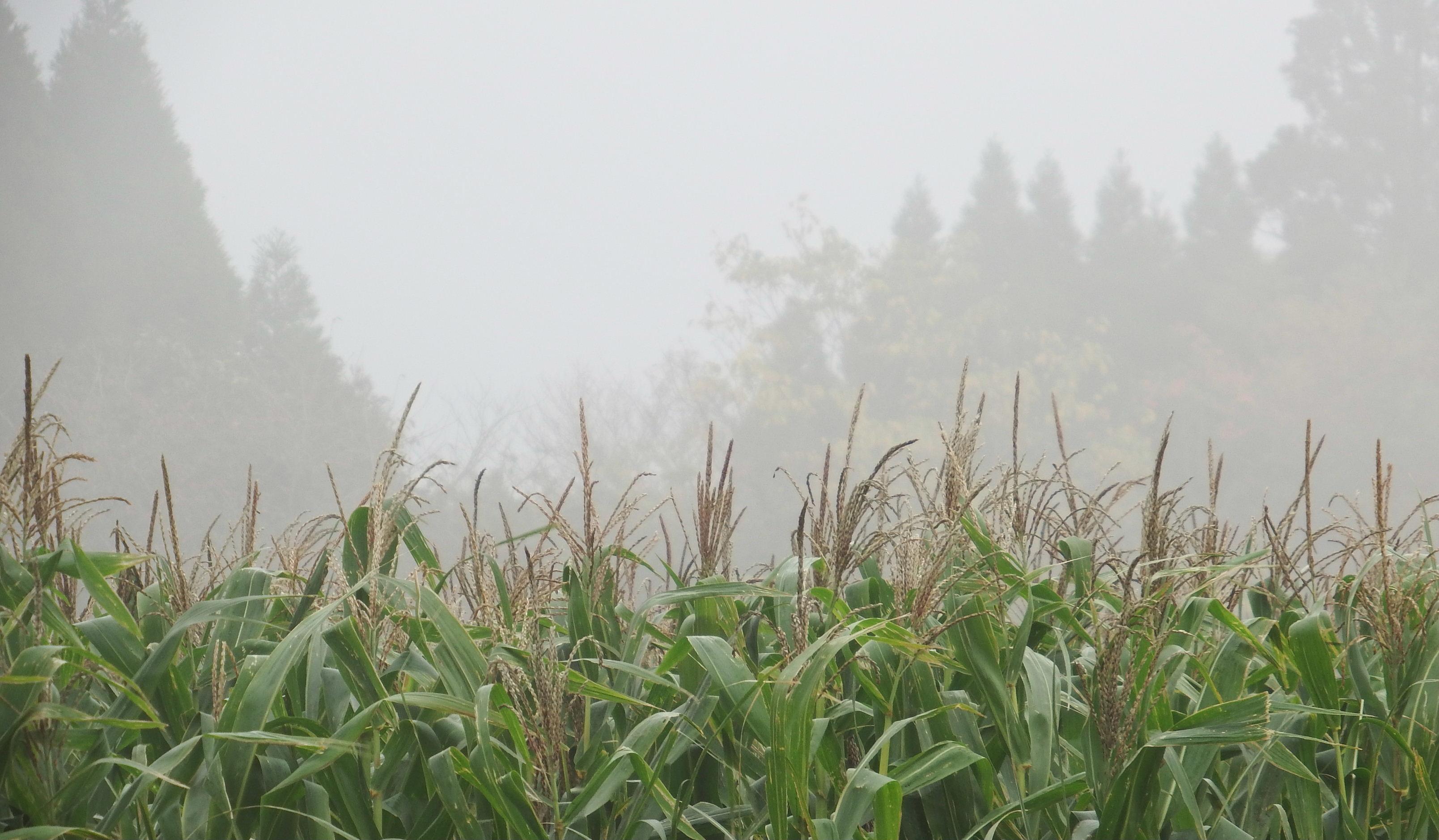 雲の中のトウモロコシ