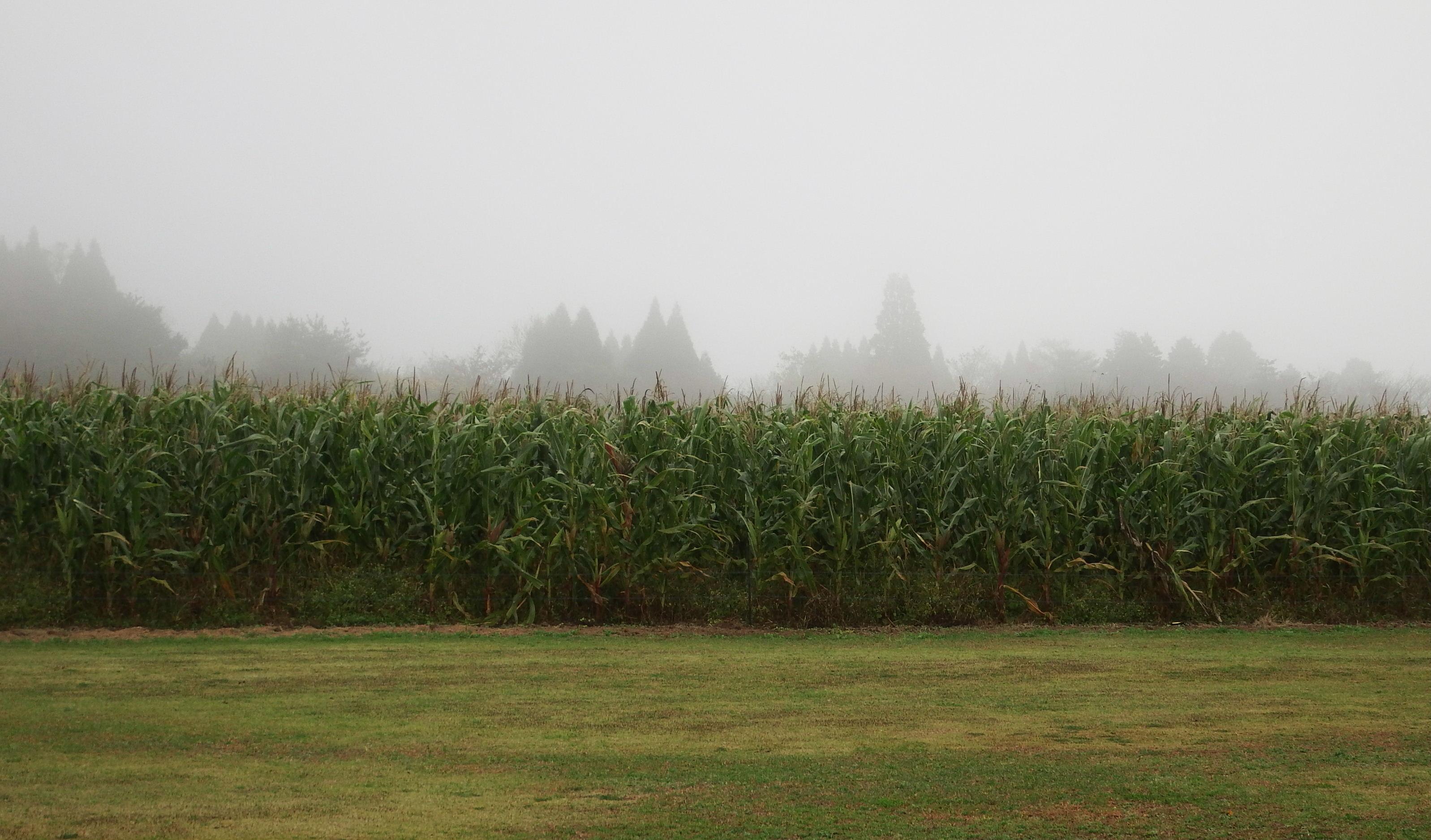トウモロコシと雲