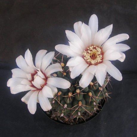 Sany0140--walteri--STO 1839--Amerhauser seed