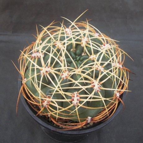 Sany0160--monillei ciloratum--HV 361--Bercht seed