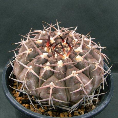 Sany0026--piltziorum--BKS 044--S of Andolucas LR--ex Eden 14969