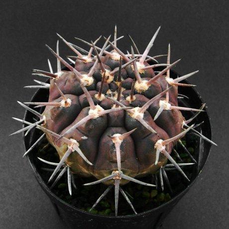 Sany0086--piltziorum--STO 177--Mesa seed 479.76