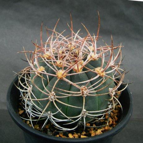 Sany0142--ambatoense--VS 131-- Catamarca, Miraflores, 1100m--CCB seed CB-060019