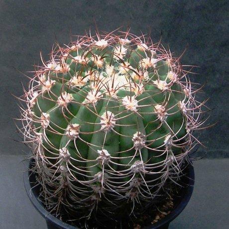 Sany0157--ambatoense--Mesa seed--ex Yms