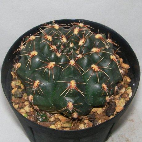 Sany0159--uruguayense v melanocarpum--LB 2700--Bercht seed 3822(1012)