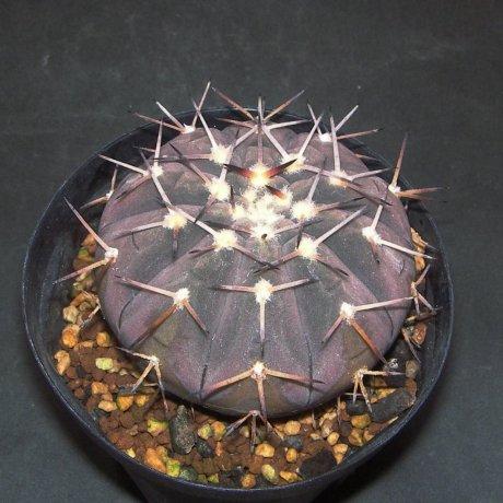 Sany0025--riojense ssp paucispinum v guasayanense--KP 258-- east of Saujil, Recreo, Catamarca, 370m Arg.--CCB seed
