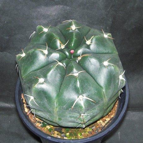 Sany0019--paraguayense--ex Moser K--Piltz seed 1286