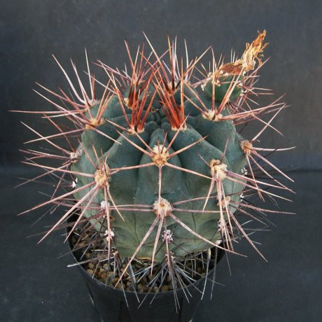 Sany0204--kroenleinii--Pitz seed 3943