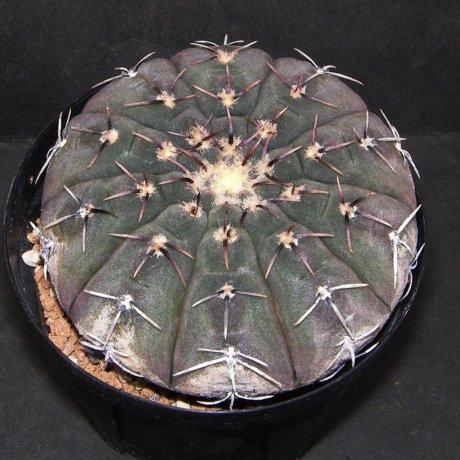 Sany0112--occultum--VS 132-- Catamarca, Miraflores, 1100m--Mesa seed 476.7