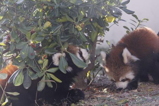 '15.10.29 red panda 5182