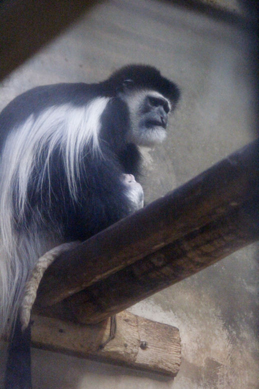 '15.12.1 eastern black-and-white colobus 9010