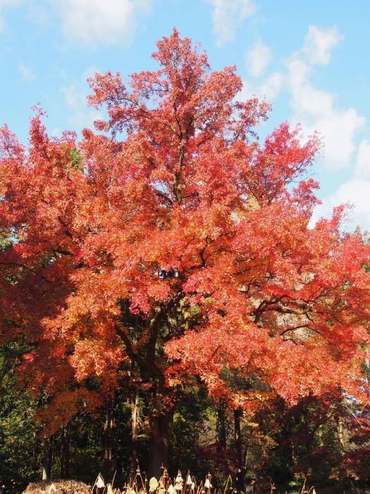 151205府立植物園・秋13フウの木