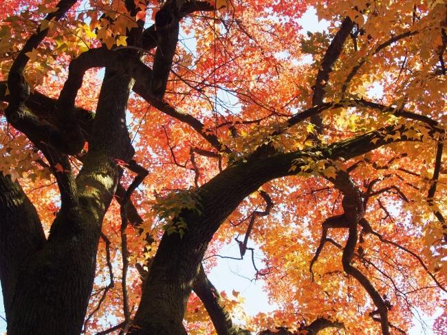 151205府立植物園・秋12フウの木