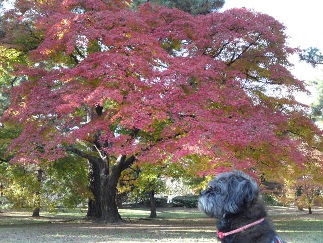 151205御所さんぽ⑥紅葉とふうた