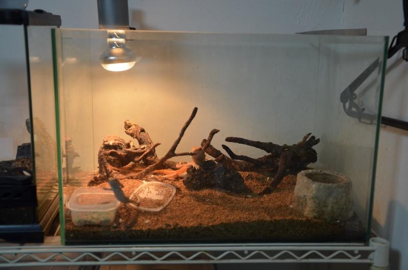 フトアゴヒゲトカゲ 環境