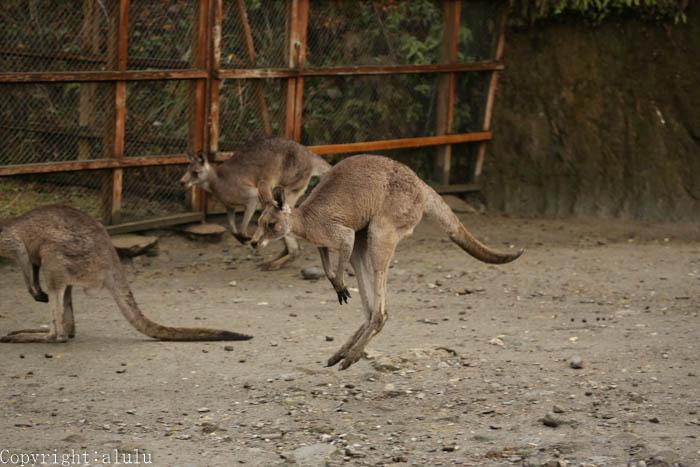 動物園 写真 オオカンガルー