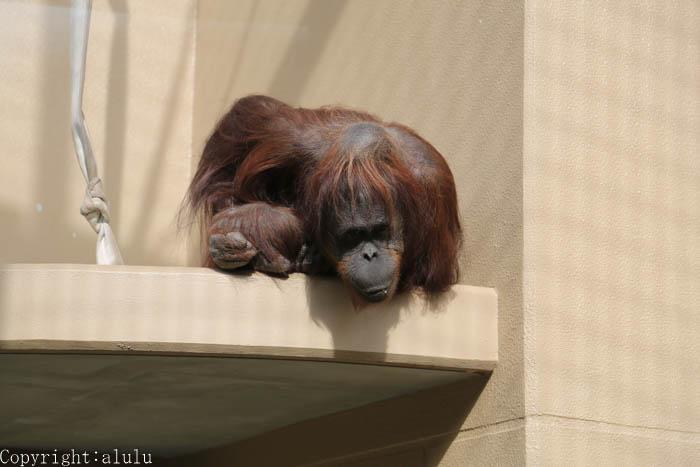 動物写真 動物園 ボルネオオランウータン