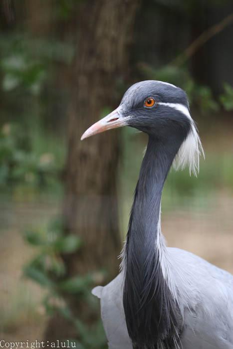 天王寺動物園 写真 アネハヅル