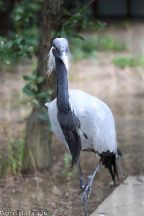 天王寺動物園 アネハヅル