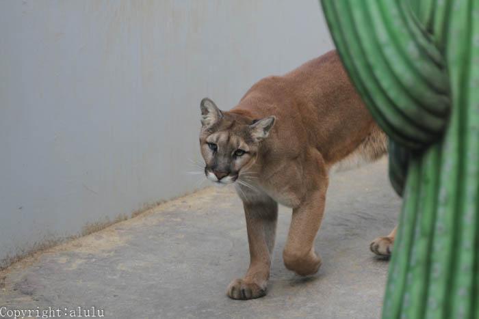 ピューマ 動物園