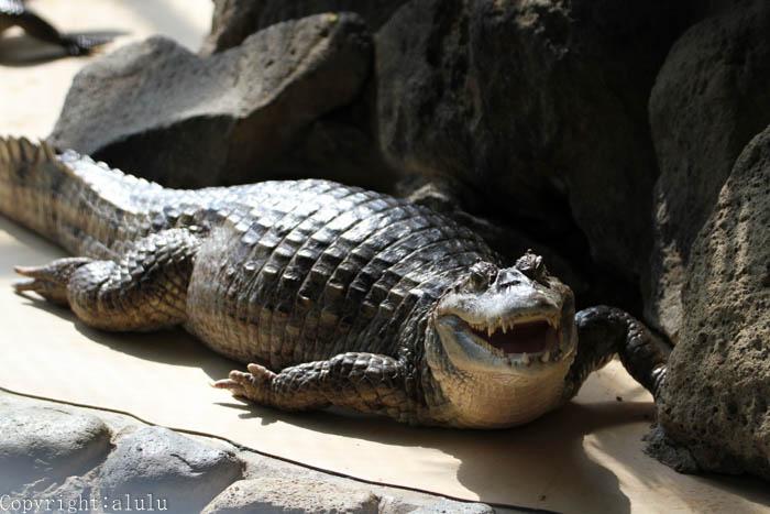 八木山動物園 メガネカイマン