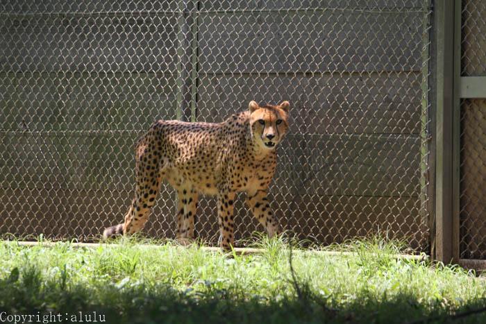 動物写真 チーター