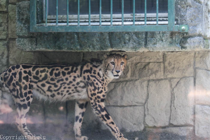キングチーター 多摩動物公園